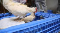 1,310 Hens Liberated From Cages