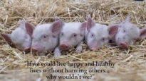 5 Piglets Running