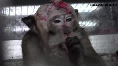 A Living Nightmare for the Monkeys of Mauritius