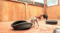 Adorable Rescued Piglets Frolick
