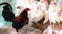 Animal Place Hen Rescue