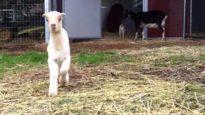 Animal Place's Noah and Cornelius Baby Goats