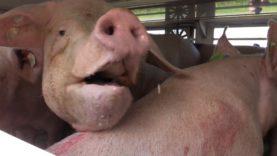 Animal Rights filmt misstanden bij Porc Meat in Zele