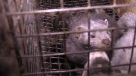 Animal Rights filmt misstanden op bontfokkerijen te Alphen aan den Rijn (Nederland).