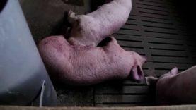 (Animales) Ahogados en granjas // Inundaciones del Ebro