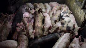 Apoya proyecto de investigación en decenas de mataderos