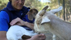 Bouncing Baby Bella the Goat