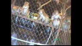 BUAV investigation into the monkey trade in Laos