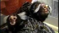 BUAV: Monkeys in animal research
