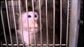 BUAV: Monkeys in animal research part 2