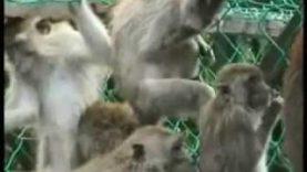 BUAV undercover primate investigation in Malaysia