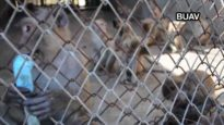 Caged Cruelty – The Monkey Farms of Laos