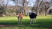 Calf Problems