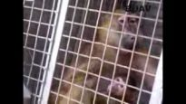 Captive Cruelty: The cruel capture and captivity of wild baboons for experiments in Kenya
