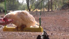 Chicken on a Swing (Sorta)