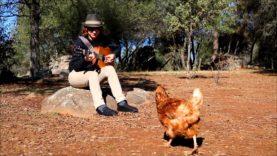 Chickens Enjoy Guitar Music