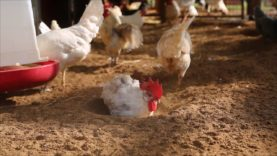 Chickens Love Dustbathing