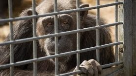 Confinment and Suffering of chimpanzees at Schwaben Park – Germany