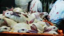 Conigli: Un viaggio di sola andata
