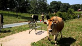 Cows Move to New Pasture