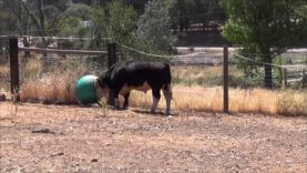 Cows Play With Bouncy Ball