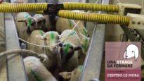 Dentro le mura di un macello di agnelli – un video di Essere Animali