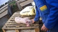 East Anglian Pig Co. Exposed | Animal Equality Undercover Investigation
