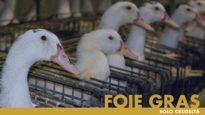 FOIE GRAS, solo crudeltà – un'indagine di Essere Animali
