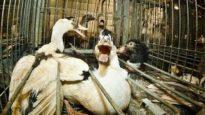 French Foie Gras Cruelty –  Animal Equality Undercover Investigation