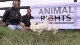Geredde kippen genieten van hun vrijheid