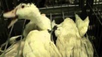 Gli allevamenti di Foie Gras | Una investigazione di Animal Equality