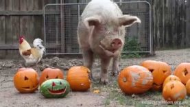Halloween – Pigs, Peace and Pumpkins