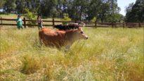 Happy Cows Love Sanctuaries