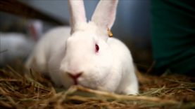 Holiday Rabbits Rescued From Research