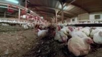 iAnimal – British Pig and Chicken Farms in 360°