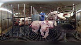 iAnimal – Dietro la carne a 360° – Narrato da Giulia Innocenzi