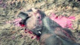 Il massacro di Gadhimai 2014 – Anteprima