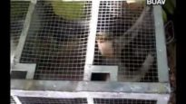 Indonesia – trapping of wild monkeys