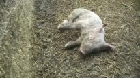 Injuries – East Anglian Pig Co.