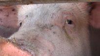 Kalfjes en varkens op weg naar de slacht