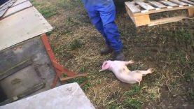 Killing | East Anglian Pig Co.