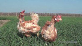 La nuova vita di due GALLINE liberate da un allevamento intensivo