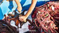 La pesca dei polpi – un'indagine di Essere Animali