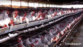 L'allevamento di galline ovaiole in Messico