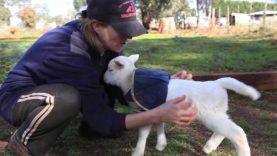 Lamb Lamb Style