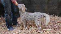 Lamb Lamb Tails