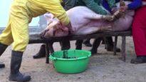 Matanza del cerdo en España // Muerte de un cerdo