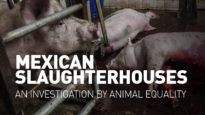 Mexican slaughterhouses – An investigation by Animal Equality