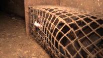 Nertsenfokkerij in Langemark(België) is ware hel voor dieren