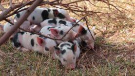 Piglets – Dasher, Dancer, Prancer, Vixen, Comet, Cupid, Donner and Blitzen